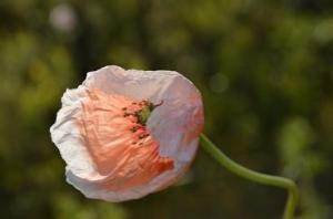 flower fades