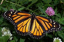 220px-Monarch_In_May