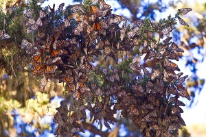 Monarch-butterflies-pacific-grove