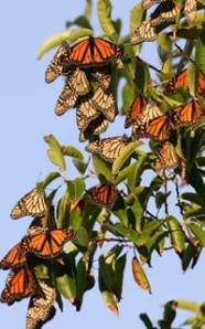 monarchs-hibernating