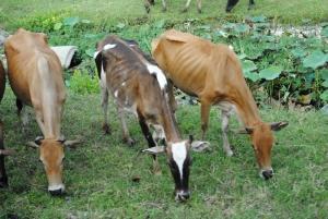skinny-cows